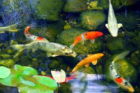 amazon com pond clarifier for proud koi pond owners premium