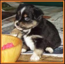 5 week old mini australian shepherd ghost eye mini aussie avail xmas 2014 litter 7 pup7 jessie blue