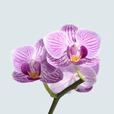 phalaenopsis orchid 101 the plant hunter