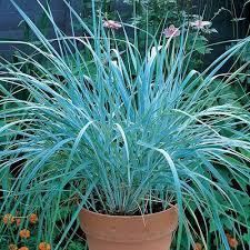 ornamental grasses gardening forums