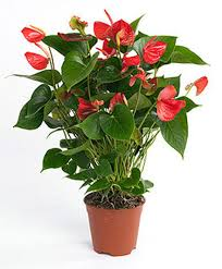 plante d駱olluante chambre anthurium plante dépolluante decor in idées conseils