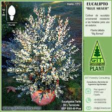 pruning ornamental eucalypts ii eucalyptus gunnii exle