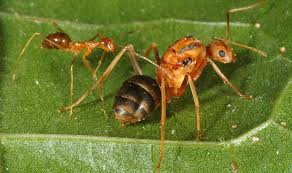getting crazy ants under control csiroscope