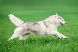 hyperactive dogs 10 most hyper dog breeds iheartdogs com