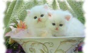 white kitten wallpaper