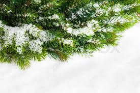 christmas tree with snow branch of christmas tree with snow stock photo colourbox