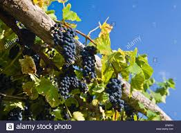 grape arbor stock photos u0026 grape arbor stock images alamy