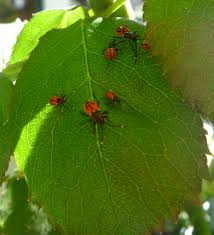 Garden Pests Identification - pest insects a year in a gippsland garden