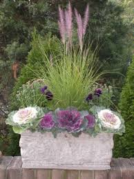 best 25 cabbage plant ideas on winter pansies fall