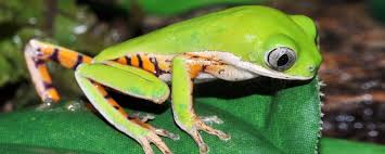 emsworth reptiles pricelists frogs toads tiger legged