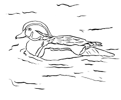 wood duck coloring page samantha bell