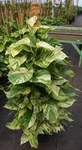 types of indoor plants houseplants prevent powdery mildew in 3