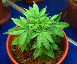 best light for weed seedlings how to grow your first weed plant at home breeding marijuana