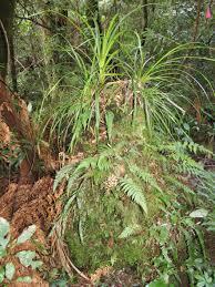 native nz plants new zealand native plants u2013 ponga movin2newzealand