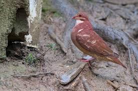 ruddy quail dove introduction neotropical birds online