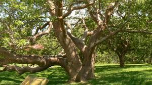 file gumbo limbo tree desoto national monument jpg wikimedia commons
