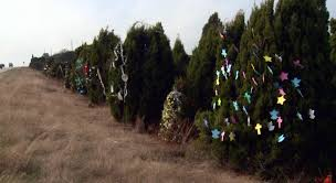 cleanup begins on cedar trees decorated along loop 360 kxan com