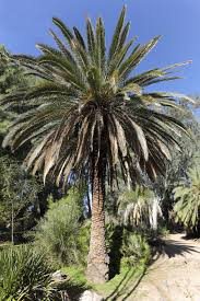 information on canary island date palms u2013 guide to planting a