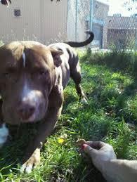 Seeking Pitbull Rescued By Husky Of Florida Inc Founddog Medley Fl