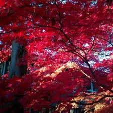 trees japanese maple the leaves of this japanese maple tree
