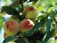 How To Grow Apple Trees In Backyard Apples How To Plant Grow And Harvest Apple Trees The Old