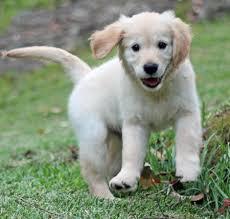 white golden retriever white golden retriever puppies in