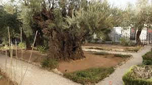 very old olive trees and paths in the garden of gethsemane in
