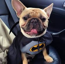 31 best frenchie costumes images on pinterest french bulldogs
