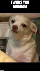 Memes De Chihuahua - concerned chihuahua meme generator imgflip