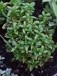 Fragrant Plants Florida - basil gardening solutions university of florida institute of