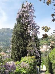 file climbing wisteria jpg wikimedia commons
