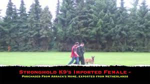 belgian malinois competition belgian malinois knpv ph1 trial youtube