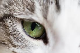 Cataract Leads To Blindness Due To Causes U0026 Prevention Of Cataracts In Cats Feline Cataracts