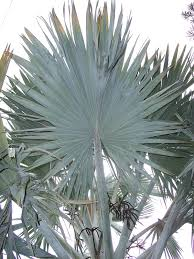 fan palm wikipedia