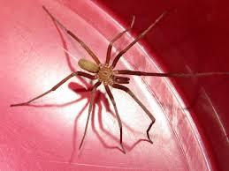 male southern house spider kukulcania hibernalis by kamose on