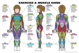 chart muscle guide chart