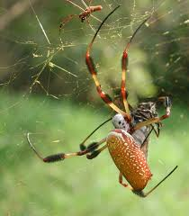 Are Spiders Attracted To Light Golden Silk Orb Weaver Wikipedia
