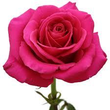hot pink roses pink floyd hot pink roses florasource