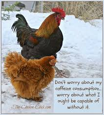 Rooster Meme - 249 best coffee images on pinterest backyard chickens chicken
