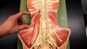 psoas muscle anatomy gallery learn human anatomy image