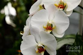white orchids white orchids 5d22437 photograph by wingsdomain and photography