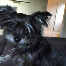 affenpinscher terrier mix found in highland park small black terrier mix the eastsider la