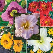 Reblooming Daylilies The Perfect Perennial Buy Daylilies At Spring Hill