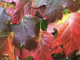 oakleaf hydrangeas shrubs that want to be oak trees