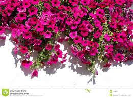 fuchsia flowers against white wall royalty free stock photos