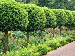 evergreen trees for garden tree garden magnolia ornamental trees