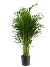 amazon com live indoor plants grocery u0026 gourmet food bonsai