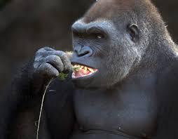 gorilla faq answering the most common questions dallas zoohoo