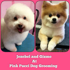 bichon frise puppy cut pomeranian and bichon frise cut to perfection torrance dog