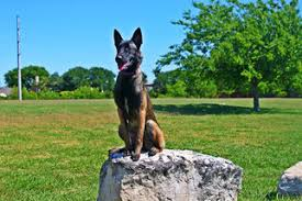 9 month old belgian malinois view ad belgian malinois puppy for sale texas leander usa